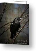 Black Bird Greeting Cards - American Crow Greeting Card by Lois Bryan