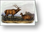 Lithograph Greeting Cards - American Elk, 1846 Greeting Card by Granger