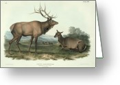 Horns Painting Greeting Cards - American Elk Greeting Card by John James Audubon