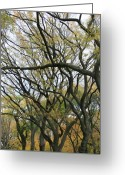 Central Park Photo Greeting Cards - American Elms of Central Park Greeting Card by Christopher Kirby