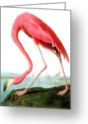 Perched Birds Greeting Cards - American Flamingo Greeting Card by John James Audubon