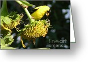 Seeds Pyrography Greeting Cards - American Goldfinch Greeting Card by Yumi Johnson