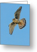 Bird Of Flight Greeting Cards - American Kestrel  Greeting Card by William Jobes