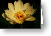 Skullcap Greeting Cards - American Lotus Greeting Card by Ron Kruger