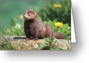 Mink Greeting Cards - American Mink Greeting Card by Mlorenzphotography