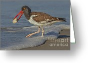 Seashell Art Photo Greeting Cards - American Oystercatcher Grabs Breakfast Greeting Card by Susan Candelario