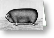 Ugly Greeting Cards - American Pig, 1890 Greeting Card by Granger