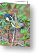 American Redstart Greeting Cards - American Restart Tail Flared Greeting Card by Alan Lenk