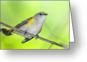 American Redstart Greeting Cards - American Restart Up Close Greeting Card by Alan Lenk