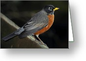 Red Birds Greeting Cards - American Robin Greeting Card by Laura Mountainspring