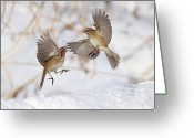 Fighting Greeting Cards - American Tree Sparrows Greeting Card by Alina Morozova