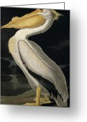 Litho Greeting Cards - American White Pelican Greeting Card by John James Audubon