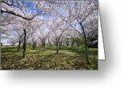 Washington D.c. Tapestries Textiles Greeting Cards - Amid Cherry Trees Washington D.C. Cherry Blossom Festival Greeting Card by Brendan Reals