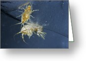 Animal Life Cycles Greeting Cards - Amphipods Live Out Much Of Their Life Greeting Card by Paul Nicklen