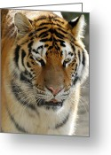 Cat Profile Greeting Cards - Amur Tiger 2 Greeting Card by Dick Wood