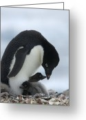 Rock Groups Greeting Cards - An Adelie penguin, Greeting Card by Ralph Lee Hopkins