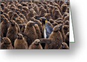 Standing Out From The Crowd Greeting Cards - An Adult King Penguin Searching To Find Greeting Card by Paul Nicklen