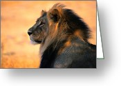 Cat Profile Greeting Cards - An Adult Male African Lion, Panthera Greeting Card by Nicole Duplaix