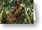 Orangutans Greeting Cards - An Adult Male Orangutan Greeting Card by Tim Laman