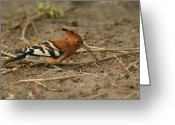Foraging Greeting Cards - An African Hoopoe Bird Foraging Greeting Card by Beverly Joubert