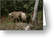 North America Greeting Cards - An Alaskan Brown Bear And Her Cubs Greeting Card by Roy Toft