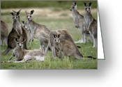 Mob Greeting Cards - An Alert Mob Of Eastern Grey Kangaroos Greeting Card by Jason Edwards