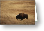 Bison Range Greeting Cards - An American Bision In Golden Grassland Greeting Card by Michael Melford