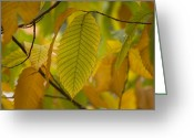 Arboretum Greeting Cards - An American Chestnut Tree Castanea Greeting Card by Joel Sartore