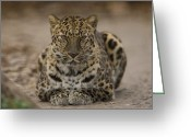 Property Released Photography Greeting Cards - An Amur Leopard Panthera Pardus Greeting Card by Joel Sartore