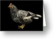 Poultry Photo Greeting Cards - An Ancona Chicken At The Soukup Farm Greeting Card by Joel Sartore