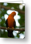 Andean Greeting Cards - An Andean Cock-of-the-rock Rupicola Greeting Card by Joel Sartore