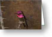 Property Released Photography Greeting Cards - An Annas Hummingbird Calypte Anna Greeting Card by Joel Sartore