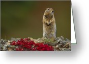 Autumn Photographs Greeting Cards - An Arctic Ground Squirrel Spemophilus Greeting Card by Paul Nicklen