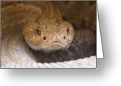 Property Released Photography Greeting Cards - An Aruba Island Rattlesnake Crotalus Greeting Card by Joel Sartore