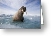 Walruses Greeting Cards - An Atlantic Walrus On An Ice Floe Greeting Card by Paul Nicklen
