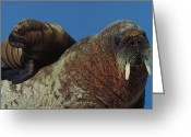 Walruses Greeting Cards - An Atlantic Walrus Pup Finds Safety Greeting Card by Paul Nicklen