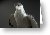 Buteo Auger Greeting Cards - An Auger Buzard Buteo Auger At Denver Greeting Card by Joel Sartore