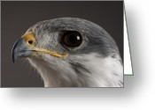 Buteo Auger Greeting Cards - An Auger Buzzard Buteo Auger At Denver Greeting Card by Joel Sartore