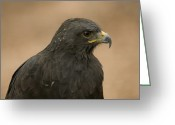 Buteo Auger Greeting Cards - An Augur Buzzard In A Wild Bird Greeting Card by Joel Sartore
