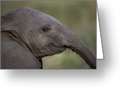 Resting Animals Greeting Cards - An Eight-month-old Elephant Calf Greeting Card by Michael Nichols