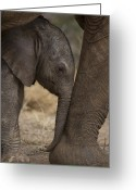 Female Animal Greeting Cards - An Elephant Calf Finds Shelter Amid Greeting Card by Michael Nichols