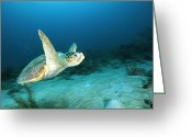 Sea Turtles Greeting Cards - An Endangered Loggerhead Turtle Greeting Card by Brian J. Skerry