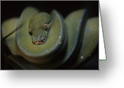 Close Views Greeting Cards - An Immature Green Tree Python Curled Greeting Card by Taylor S. Kennedy