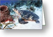 Hawksbill Turtle Greeting Cards - An Injured Hawksbill Turtle Greeting Card by Karen Doody