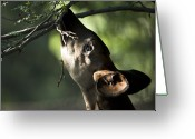 Henry Doorly Zoo Greeting Cards - An Okapi Reaches For A Little Snack Greeting Card by Joel Sartore