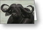 Drool Greeting Cards - An Old Cape Buffalo Bull With Massive Greeting Card by Jason Edwards