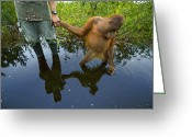 Orangutans Greeting Cards - An Orangutan Orphan Clings To The Hand Greeting Card by Mattias Klum