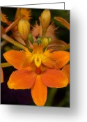 Generic Greeting Cards - An Orchid, Epidendrum Pacific Glory Greeting Card by Stephen Sharnoff
