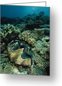Tridacna Species Greeting Cards - An Underwater Vista Of A Reef Greeting Card by Bill Curtsinger