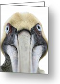 Pelican Photo Greeting Cards - An Unusual Bird Greeting Card by Carl Purcell